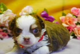 チワワ(ロング)の子犬(ID:1246711686)の1枚目の写真/更新日:2017-02-06
