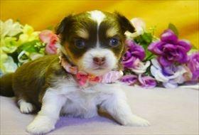 チワワ(ロング)の子犬(ID:1246711687)の1枚目の写真/更新日:2017-02-06