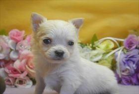 チワワ(ロング)の子犬(ID:1246711688)の1枚目の写真/更新日:2017-02-06