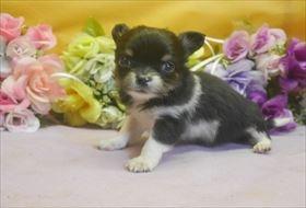 チワワ(ロング)の子犬(ID:1246711689)の1枚目の写真/更新日:2017-02-06