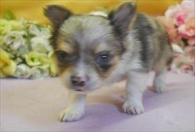 チワワ(ロング)の子犬(ID:1246711690)の1枚目の写真/更新日:2017-02-06