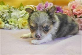 チワワ(ロング)の子犬(ID:1246711690)の2枚目の写真/更新日:2017-02-06