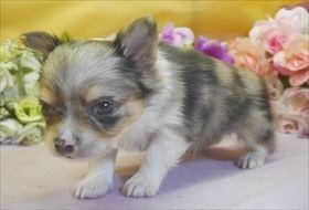 チワワ(ロング)の子犬(ID:1246711690)の3枚目の写真/更新日:2017-02-06
