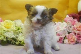 チワワ(ロング)の子犬(ID:1246711691)の1枚目の写真/更新日:2017-02-21