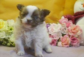 チワワ(ロング)の子犬(ID:1246711691)の2枚目の写真/更新日:2017-02-21