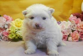 ポメラニアンの子犬(ID:1246711692)の1枚目の写真/更新日:2017-02-21