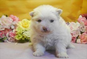 ポメラニアンの子犬(ID:1246711692)の2枚目の写真/更新日:2017-02-21