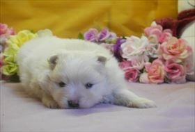 ポメラニアンの子犬(ID:1246711693)の1枚目の写真/更新日:2017-02-21
