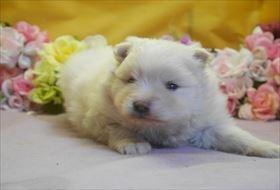 ポメラニアンの子犬(ID:1246711693)の3枚目の写真/更新日:2017-02-21