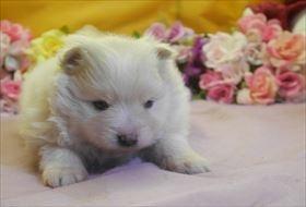 ポメラニアンの子犬(ID:1246711693)の4枚目の写真/更新日:2017-02-21