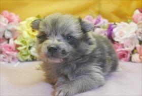 ポメラニアンの子犬(ID:1246711694)の1枚目の写真/更新日:2017-02-21
