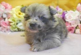 ポメラニアンの子犬(ID:1246711694)の2枚目の写真/更新日:2017-02-21