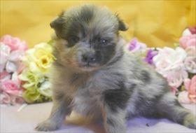 ポメラニアンの子犬(ID:1246711695)の1枚目の写真/更新日:2017-02-21
