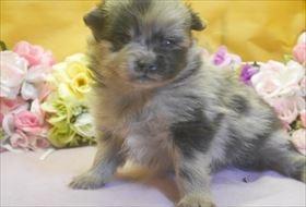 ポメラニアンの子犬(ID:1246711695)の2枚目の写真/更新日:2017-02-21