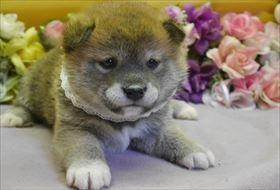 柴犬の子犬(ID:1246711696)の1枚目の写真/更新日:2018-12-18