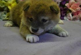 柴犬の子犬(ID:1246711696)の2枚目の写真/更新日:2017-02-21