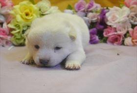 柴犬の子犬(ID:1246711697)の1枚目の写真/更新日:2017-02-21