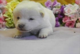 柴犬の子犬(ID:1246711697)の2枚目の写真/更新日:2017-02-21