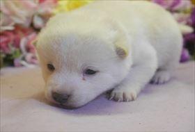 柴犬の子犬(ID:1246711697)の3枚目の写真/更新日:2017-02-21