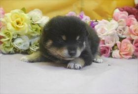 柴犬の子犬(ID:1246711698)の1枚目の写真/更新日:2017-02-21