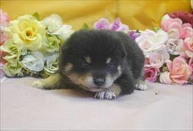 柴犬の子犬(ID:1246711698)の2枚目の写真/更新日:2017-02-21