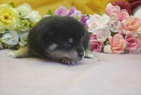 柴犬の子犬(ID:1246711698)の3枚目の写真/更新日:2017-02-21
