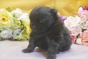 ポメラニアンの子犬(ID:1246711699)の1枚目の写真/更新日:2017-02-21