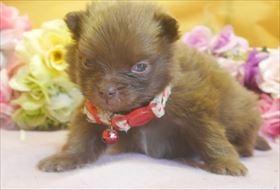 ポメラニアンの子犬(ID:1246711700)の1枚目の写真/更新日:2017-02-21