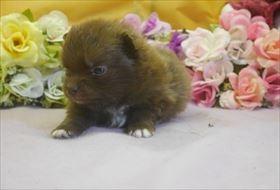 ポメラニアンの子犬(ID:1246711701)の2枚目の写真/更新日:2017-02-21