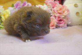 ポメラニアンの子犬(ID:1246711701)の3枚目の写真/更新日:2017-02-21