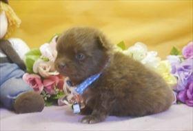ポメラニアンの子犬(ID:1246711702)の1枚目の写真/更新日:2017-02-21