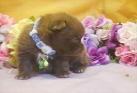 ポメラニアンの子犬(ID:1246711702)の2枚目の写真/更新日:2017-02-21