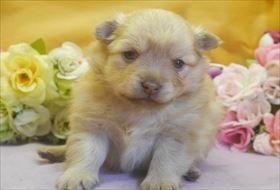 ポメラニアンの子犬(ID:1246711703)の1枚目の写真/更新日:2017-03-13