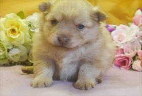 ポメラニアンの子犬(ID:1246711703)の2枚目の写真/更新日:2017-03-13