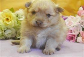 ポメラニアンの子犬(ID:1246711703)の3枚目の写真/更新日:2017-03-13