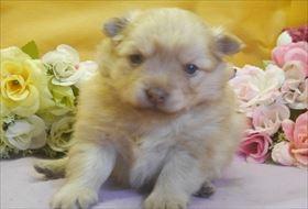ポメラニアンの子犬(ID:1246711703)の4枚目の写真/更新日:2017-03-13