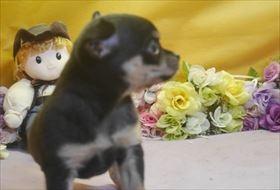 チワワ(スムース)の子犬(ID:1246711705)の3枚目の写真/更新日:2017-03-17