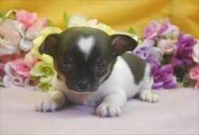 イタリアングレーハウンドの子犬(ID:1246711706)の1枚目の写真/更新日:2017-03-17