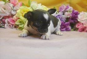 イタリアングレーハウンドの子犬(ID:1246711706)の2枚目の写真/更新日:2017-03-17