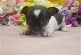 イタリアングレーハウンドの子犬(ID:1246711706)の3枚目の写真/更新日:2017-03-17