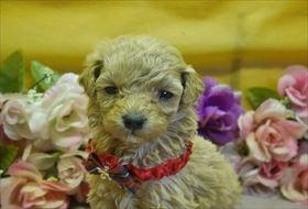 トイプードルの子犬(ID:1246711707)の1枚目の写真/更新日:2017-03-31
