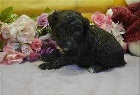 トイプードルの子犬(ID:1246711708)の1枚目の写真/更新日:2017-03-31