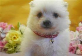 ポメラニアンの子犬(ID:1246711709)の1枚目の写真/更新日:2017-03-31