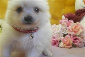 ポメラニアンの子犬(ID:1246711709)の2枚目の写真/更新日:2017-03-31