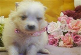 ポメラニアンの子犬(ID:1246711710)の2枚目の写真/更新日:2017-03-31