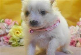 ポメラニアンの子犬(ID:1246711710)の4枚目の写真/更新日:2017-03-31