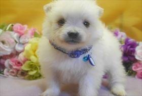 ポメラニアンの子犬(ID:1246711711)の3枚目の写真/更新日:2017-03-31