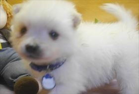 ポメラニアンの子犬(ID:1246711711)の4枚目の写真/更新日:2017-03-31