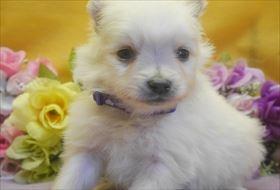 ポメラニアンの子犬(ID:1246711712)の1枚目の写真/更新日:2017-03-31