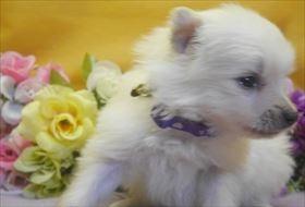 ポメラニアンの子犬(ID:1246711712)の2枚目の写真/更新日:2017-03-31